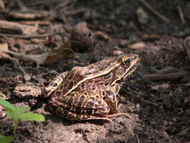Camouflaged Frog. Frog relaxing in its small piece of sunshine. Its camouflage allows it to blend in with the terrain around it Royalty Free Stock Image