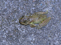 Camouflaged Frog Stock Images
