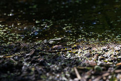Camouflaged frog Royalty Free Stock Images