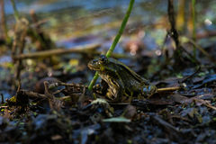 Camouflaged frog Stock Photos