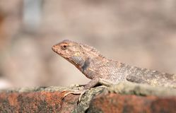 Camouflaged garden lizard Stock Photo