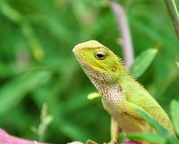 Camouflaged garden lizard Stock Photos