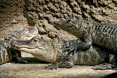Camouflaged Gators Royalty Free Stock Image
