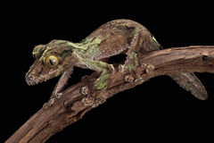 Camouflaged Gecko. A male mossy leaf-tailed gecko looks like the bark on the vine he is crawling on royalty free stock photos