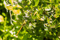 Camouflaged Giant Comet Darner Dragonfly Royalty Free Stock Photos