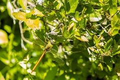 Camouflaged Gigantyczny komety cerowaczki Dragonfly Zdjęcia Royalty Free