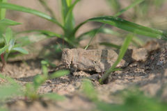 Camouflaged grasshopper Royalty Free Stock Photography