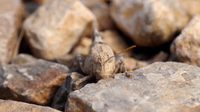 Camouflaged grasshopper on a rock Stock Photos