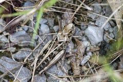 Camouflaged Gray Bird Grasshopper - Schistocerca nitens Stock Photo