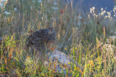 Camouflaged grouse bird. A sooty grouse sitting still in the shadows Royalty Free Stock Photos