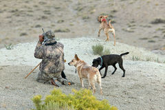 Camouflaged hunter and tracking dogs in desert. A stealthy, camouflaged hunter with three tracking dogs, kneels and scans an arid, desert landscape for prey in Stock Photography