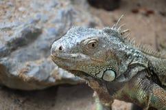 Camouflaged iguana. Tropical iguana lizard species, camouflaged Stock Image