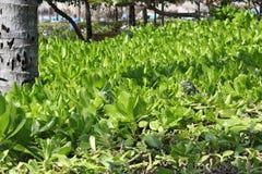 Camouflaged Iguanas - Aruba Stock Photo