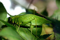 Camouflaged Insect Stock Photos