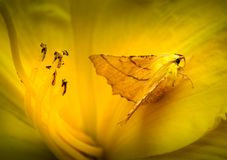 Camouflaged Kanariefågel-knuffade Thorn Moth i Daylily arkivfoton