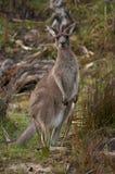 Camouflaged Kangaroo Stock Photo