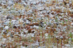 Camouflaged Killdeer Stock Image