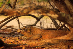 Camouflaged Komodo Dragon(Varanus komodoensis) Stock Photo
