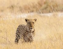 Elusive leopard carefully observing the photographer royalty free stock photos