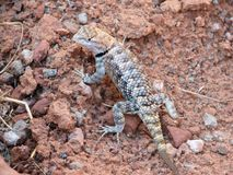 Camouflaged lizard Royalty Free Stock Image
