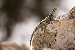 Camouflaged lizard Stock Image