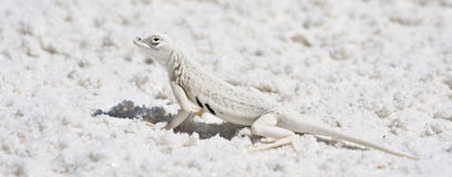 Camouflaged Lizard in desert Royalty Free Stock Photography