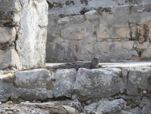 Lizard photographed in Tulum Mexico. Camouflaged lizard photographed in Tulum. Tulum is an archaeological site where you can find Mayan Ruins and it is located stock photo