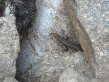Camouflaged lizard in the stones. Camouflaged lizard found in my backyard. It`s just those normal lizards you find around houses. The lizard is wild life and it Stock Image