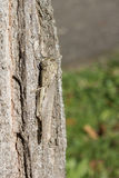 Camouflaged locust Stock Photography