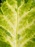 Camouflaged Malaysian Aralia Texture Leaf. The Camouflaged Malaysian Aralia Texture Leaf Royalty Free Stock Images