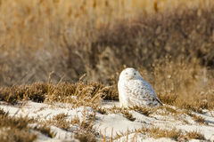 Male Snowy Owl on Beach Sand and Reeds. This camouflaged male Snowy Owl migrated south for the winter and makes its winter home blending in amongst the beach Stock Photos