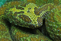 Camouflaged Mangshan Pit Vipers Head Stock Image