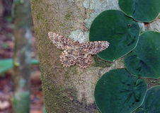 Camouflaged Moth on Tree Stock Photos