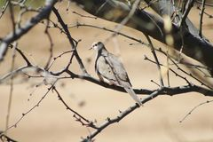 Camouflaged Mourning Dove Royalty Free Stock Photography