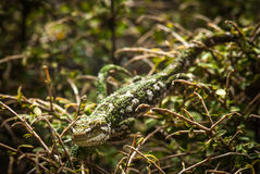 Camouflaged. A New Zealand Rough Gecko blends in perfectly with its environment stock images