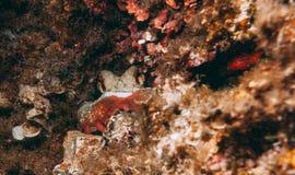 Camouflaged octopus Octopus vulgaris inside its den Stock Image