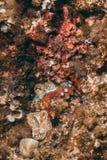 Camouflaged octopus Octopus vulgaris inside its den Stock Photo
