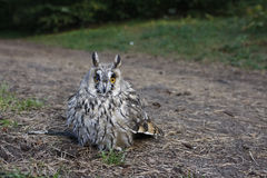 Camouflaged owl Royalty Free Stock Image