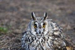 Camouflaged owl Stock Image