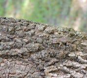 Camouflaged Płotowa jaszczurka Zdjęcia Stock