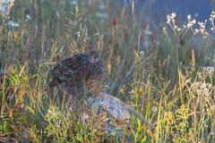 Camouflaged pardwa ptak Zdjęcia Royalty Free