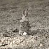 A camouflaged rabbit. A camouflaged cotton tail rabbit in the wild royalty free stock photography
