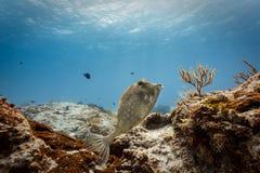 Camouflaged rabiscou nadadas do cowfish no recife de corais no mar das caraíbas fotos de stock