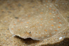 Camouflaged ray fish. Flat ray fish camouflaged with sand underwater Stock Photo
