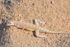 camouflaged reptile Royalty Free Stock Image