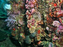 Camouflaged Scorpionfish stock photos