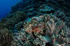 Camouflaged Scorpionfish in Indonesia Stock Image