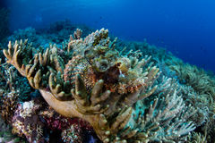 Camouflaged Scorpionfish in West Papua, Indonesia Stock Image