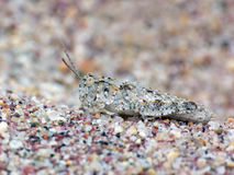 Camouflaged Seaside Grasshopper in the Sand Royalty Free Stock Photo