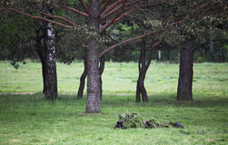 Camouflaged sniper Royalty Free Stock Images